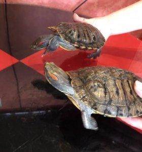 СРОЧНО!!!!Продаются две большие черепахи