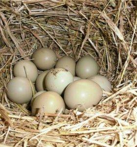 Инкубационое яйцо фазана