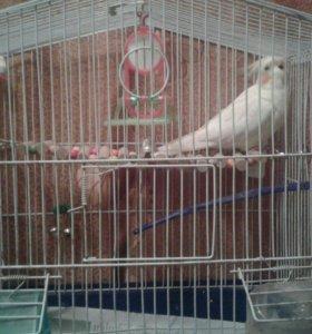 Говорящий попугай карелл.