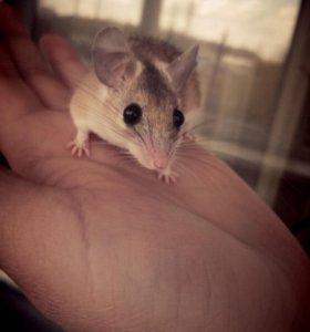 Иглистая мышка( отдам в хорошие руки)