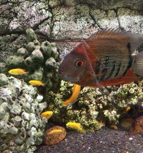 Рыбки Елло, Северум