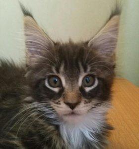 Мраморный кот—3 мес.