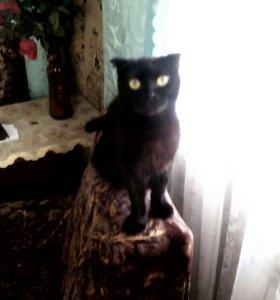 Котята британской кошки даром.