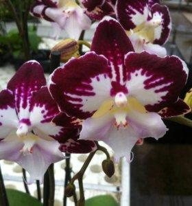 Орхидеи БИГ ЛИПЫ