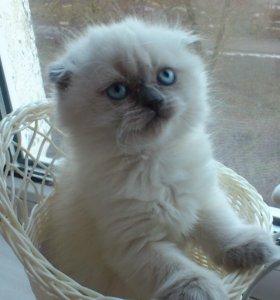 вислоухие котята необыкновенной красоты