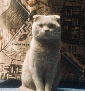 Вязка шотландский кот