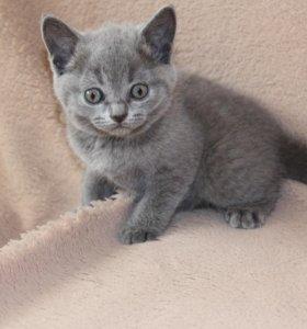 Котенок  британский ( девочка)