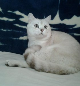 Вязка, шотландский кот