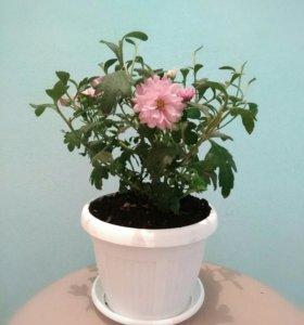 Хризантема в цвету