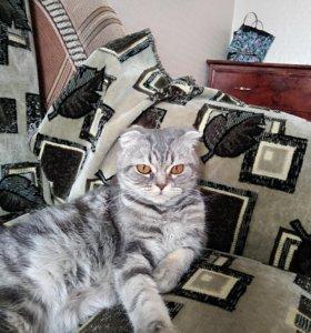 Продам шотландскую вислоухую кошечку.