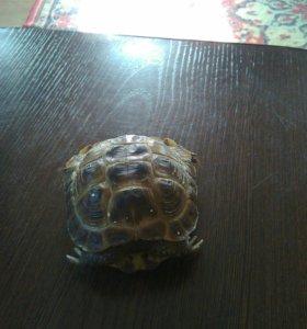 Черепаха сухопутная.