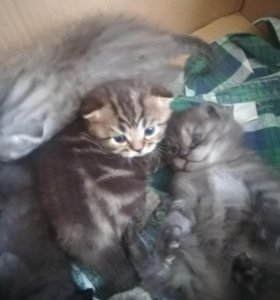 Шатландские котята.