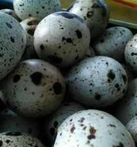 Яйца перепелов инкубационные