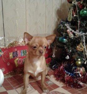 Подрощенный щенок чихуахуа!