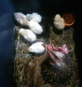 Цыплята с квочкой