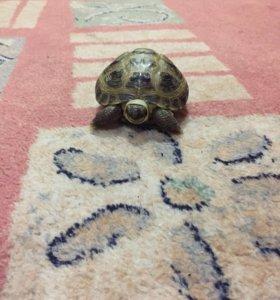 Продам сухопутную черепаху,