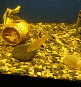 Акулий сом, цихлиды.