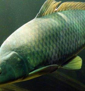 Живая рыба на продажу
