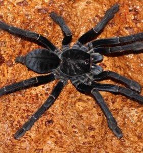 """Cyriopagopus sp. """"Sulawesi black"""