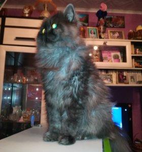 Персидский котик на вязку
