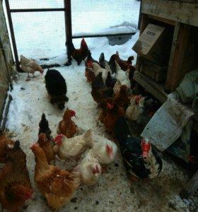 Инкубационное яйцо домашних кур.