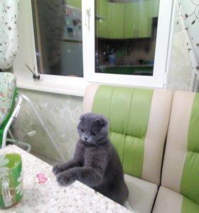 Шатланский кот,лилового окраса