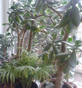 Крассула (толстянка, денежное дерево)