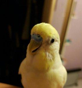 Попугай лютино с клеткой,можно научить говорить