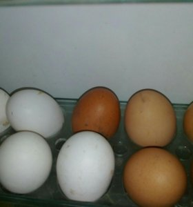 Яйцо инкубационное в наличии и под заказ