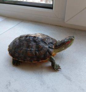 Красноухая черепаха. Самец.