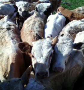 Продам бычков от 1 месяца до 4