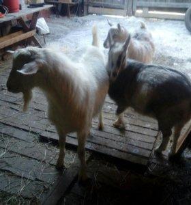 Козёл и козы