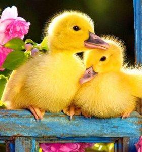 Молодняк птицы