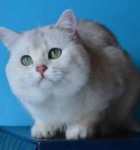 Кот британская серебристая шиншилла