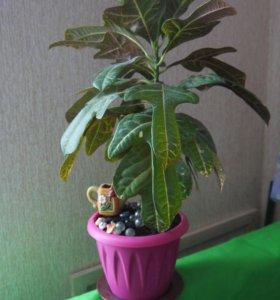 КРОТОН комнатное растение
