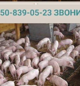 поросята от племенных свиноматок продаются