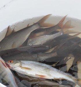 живцы на рыбалку бесстрашные аппетитные