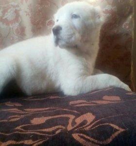 Белые щенки САО ( Алабай)
