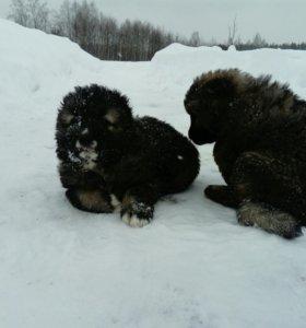 Щеночки Кавказской овчарки