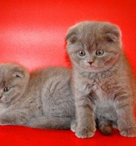 Кошечка и котик - вислоухие