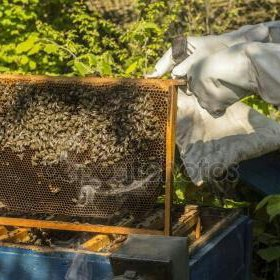 Пчелы-мёд