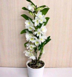 Орхидея dendrobium nobile 'Spring Dream Apollon'