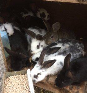 Кролики молодняк 2 месяца