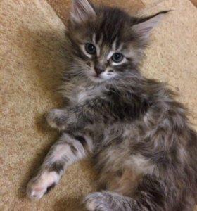 Продам котят(Мама мейн-кун)