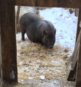 Свиноматка на племя