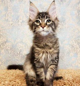 Высокопородные котята породы мейн-кун