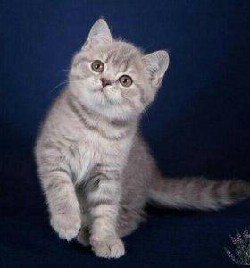 Элитный шотландский короткошерстный котенок