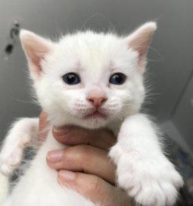 Котята сфинкс донской