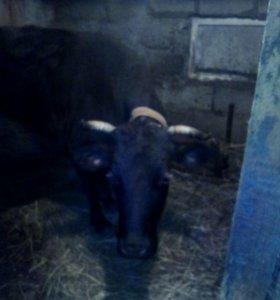 Продается дойная корова