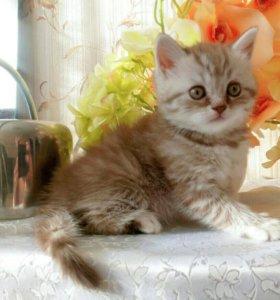 Котята-Британские